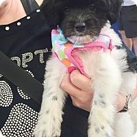 Adopt A Pet :: Gigi - Brea, CA