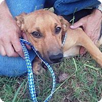 Adopt A Pet :: Sage~ meet me! - Glastonbury, CT