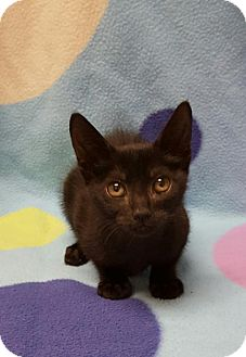 Domestic Shorthair Kitten for adoption in Hollywood, Maryland - Tiny