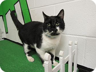 Domestic Mediumhair Cat for adoption in Rome, Georgia - 16C-1326 (10/20)