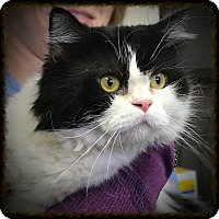 Adopt A Pet :: Patches - Los Alamitos, CA
