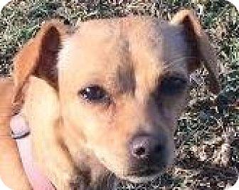 Whippet/Chihuahua Mix Dog for adoption in MINNEAPOLIS, Kansas - Bella
