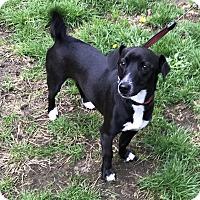 Adopt A Pet :: Rusus - Tumwater, WA