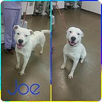 Adopt A Pet :: Joe - Steger, IL
