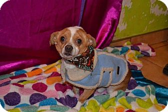 Chihuahua/Dachshund Mix Dog for adoption in San Diego, California - Firu