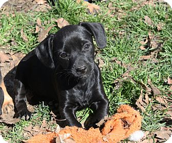 Dachshund Mix Puppy for adoption in kennebunkport, Maine - Brynn - PENDING, in Maine