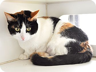 Domestic Shorthair Cat for adoption in Bradenton, Florida - Maxine