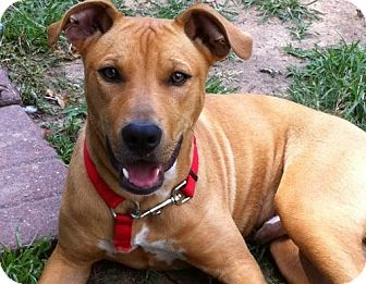 Rhodesian Ridgeback/Pit Bull Terrier Mix Puppy for adoption in Humble ...