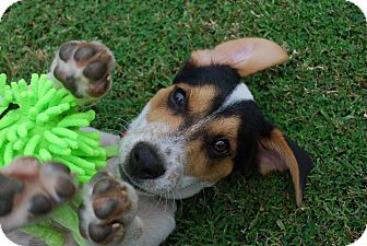 Beagle Mix Puppy for adoption in Wytheville, Virginia - Sam