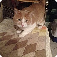 Domestic Shorthair Cat for adoption in Auburn, California - Buddy