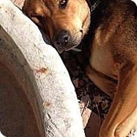 Adopt A Pet :: Katniss - Scottsdale, AZ