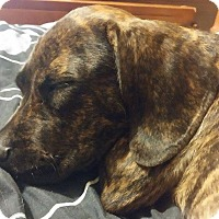 Adopt A Pet :: Karma - Tampa, FL