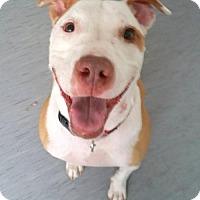 Adopt A Pet :: Zeus II - Dallas, TX