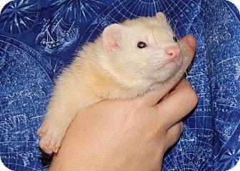 Ferret for adoption in Navarre, Florida - Jupiter