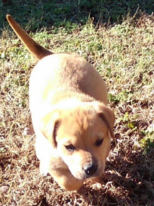 Adopt Melo a Tan/Yellow/Fawn Labrador Retriever / Catahoula Leopard ...