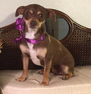 Chihuahua Mix Dog for adoption in Dallas, Texas - Summer