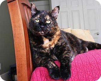 Domestic Shorthair Cat for adoption in Bellevue, Washington - 003