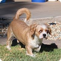 Shih Tzu/Lhasa Apso Mix Dog for adoption in Tempe, Arizona - Lincoln