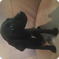 Adopt A Pet :: Lyric - Palatine/Kildeer/Buffalo Grove, IL