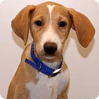 Adopt A Pet :: Biscuit~ meet me! - Glastonbury, CT