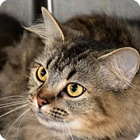 Domestic Longhair Cat for adoption in Cookeville, Tennessee - Buttons