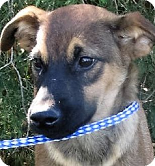 Shepherd (Unknown Type)/Labradoodle Mix Puppy for adoption in Germantown, Maryland - Ranger