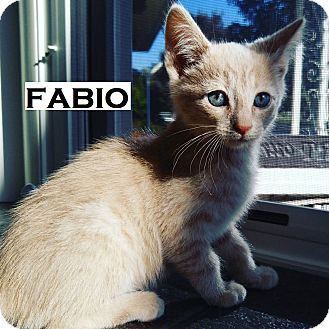Domestic Shorthair Cat for adoption in Speedway, Indiana - Fabio