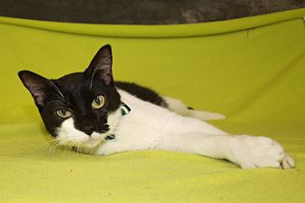 Domestic Shorthair Cat for adoption in Jackson, Mississippi - Zorro