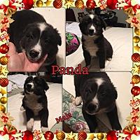 Adopt A Pet :: Panda meet me 12/16 - Manchester, CT