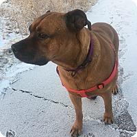 Adopt A Pet :: Tootsie - Colorado Springs, CO