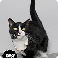 Adopt A Pet :: Daisy - Wyandotte, MI