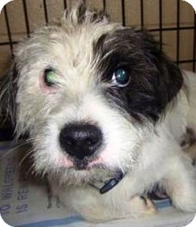 Jack Russell Terrier/Terrier (Unknown Type, Small) Mix Puppy for adoption in Oswego, Illinois - I'M ADOPTED Egg Nog Long