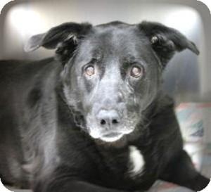 Labrador Retriever Mix Dog for adoption in North Wales, Pennsylvania - Queen