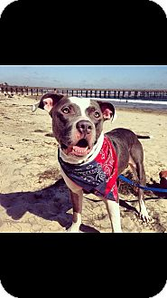 American Staffordshire Terrier/Bulldog Mix Dog for adoption in Studio City, California - Thomas
