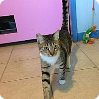 Domestic Shorthair Cat for adoption in Makawao, Hawaii - Sophia