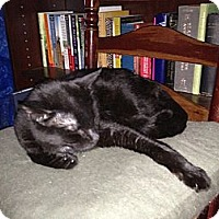 Domestic Shorthair Cat for adoption in New York, New York - Joe