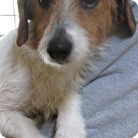Adopt A Pet :: Sugar Bea - Foster, RI