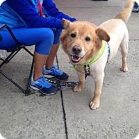 Adopt A Pet :: Pooh Bear - Nashville, TN
