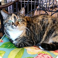 Calico Cat for adoption in Maryville, Tennessee - Mandy