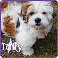 Adopt A Pet :: Taffy - Excelsior, MN