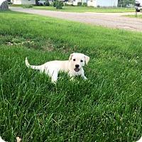 Adopt A Pet :: Confetti - Springfield, MO