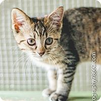 Domestic Shorthair Kitten for adoption in Leander, Texas - Sedona