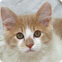 Adopt A Pet :: Garfunkle M - Sacramento, CA
