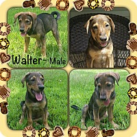 Adopt A Pet :: Walter Adoption pending - Manchester, CT