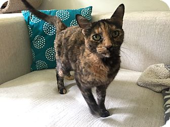 Domestic Shorthair Cat for adoption in Addison, Illinois - Blossom