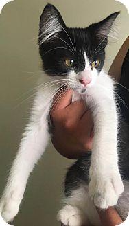 Domestic Shorthair Cat for adoption in Los Angeles, California - Duchess (Black & White)