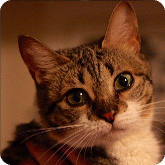 American Shorthair Cat for adoption in New York, New York - Kaya
