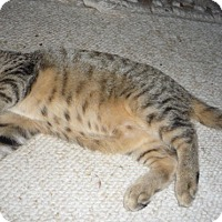 Bengal Kitten for adoption in Dallas, Texas - Android