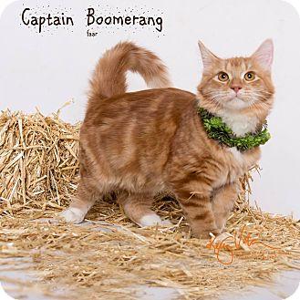 Ragdoll Kitten for adoption in Riverside, California - Captain Boomerang