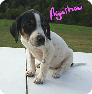 Beagle Mix Puppy for adoption in Sussex, New Jersey - Agatha I WAS ABANDONED